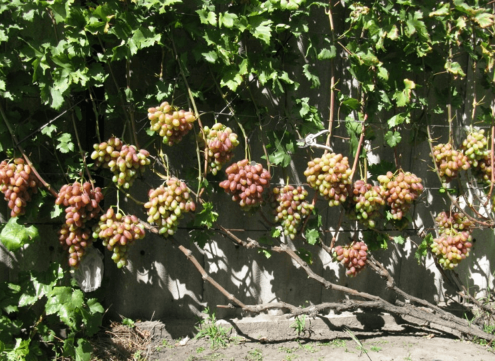 Виноград Юлиан на шпалере