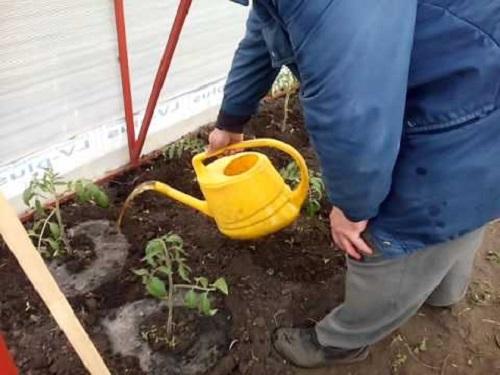 Полив томатов раствором куриного помёта