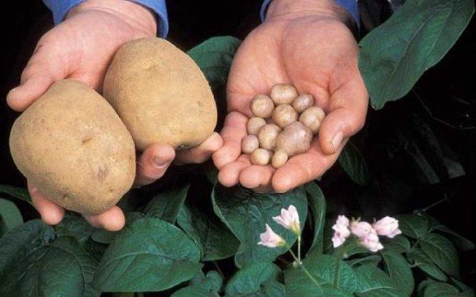 Семенной картофель и нормальные клубни