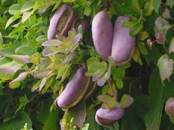 Акебия на дереве