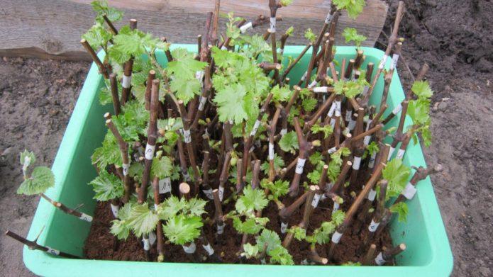 Закаливание черенков винограда