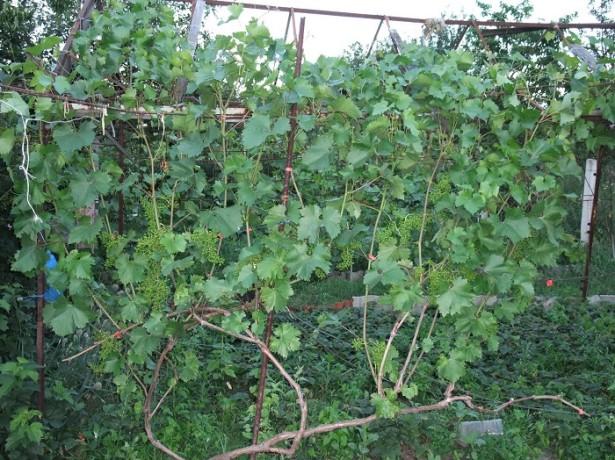 Виноград на длинной лозе
