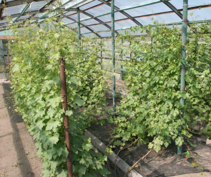 Теплица для винограда