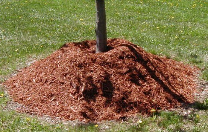 Корни дерева под толстым слоем мульчи