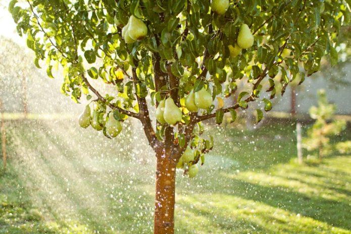 Полив груши дождеванием