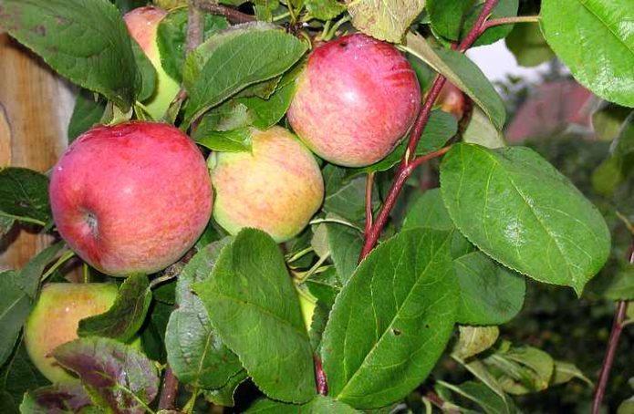 Листья яблони сорта Мельба