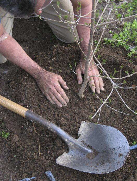 Уплотнение почвы вокруг саженца яблони