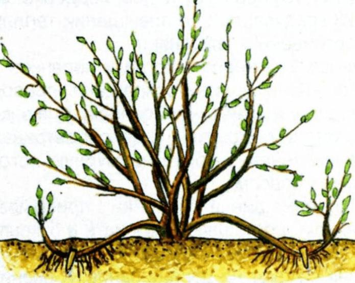 Схема размножения крыжовника дуговидными отростками