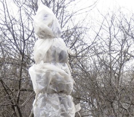 Обвязка укрытого куста барбариса