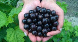 Сорт чёрной смородины Оджебин