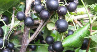 Сорт чёрной смородины Ажурная