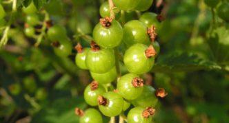 Сорт зелёной смородины Зелёная дымка