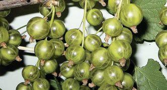 Сорт зелёной смородины Изумрудное ожерелье