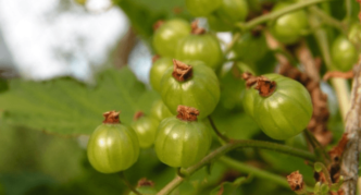 Сорт зелёной смородины Галицкий бурштын
