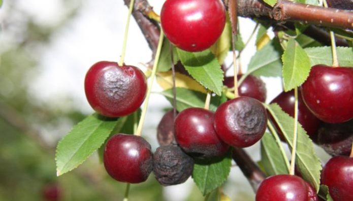 Антракноз на вишне