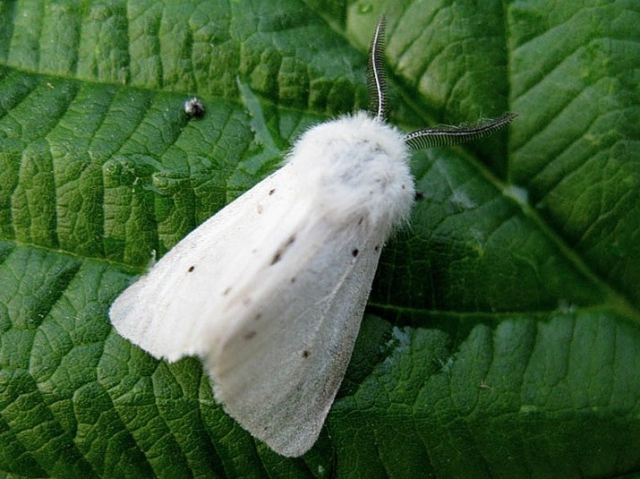 Америконская белая бабочка