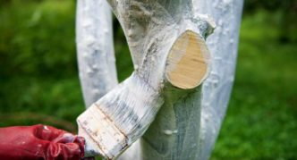 Побелка стаола вишни и скелетных ветвей