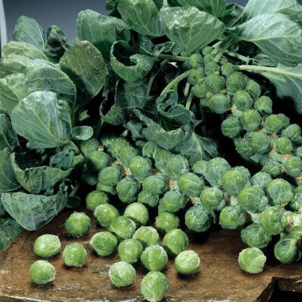 Сорт брюссельской капусты Бриллиант