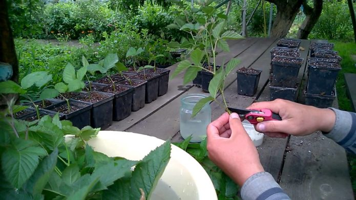 Заготовка зелёных черенков