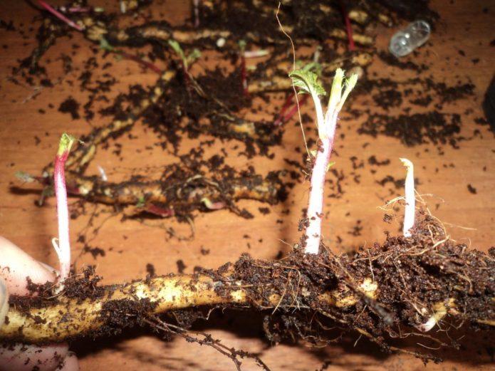 Ростки на корневых черенках