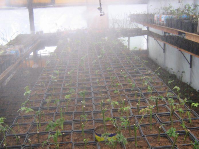 Укоренение зелёных черенков