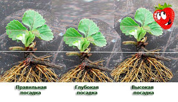 Схема правильной и неправильной посадки садовой клубники