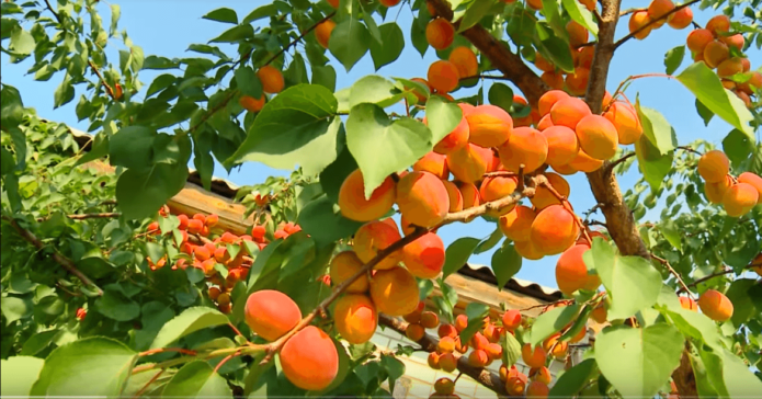 Дерево абрикоса Саратовский рубин