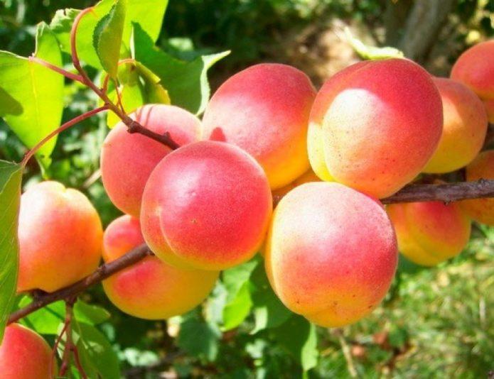 Плоды Саратовского рубина