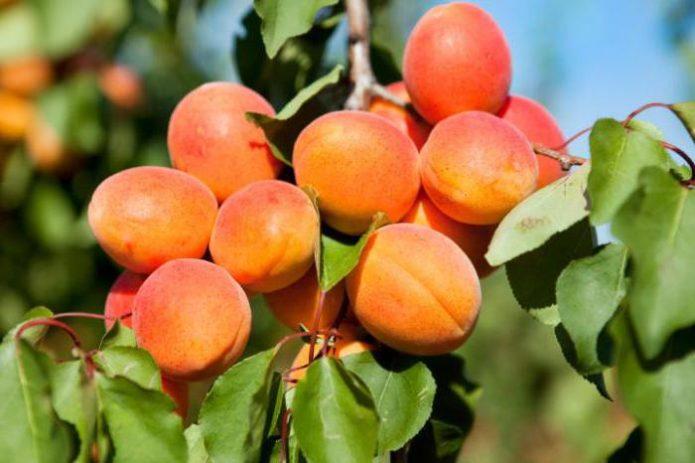 Абрикосовые плоды на ветке