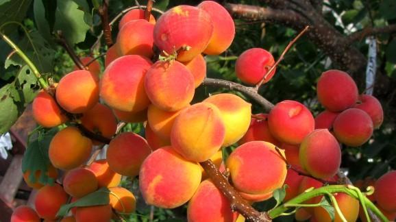 На ветке очень много плодов абрикоса Саратовский рубин