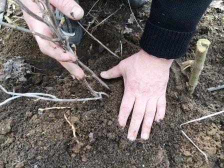 Засыпка корней