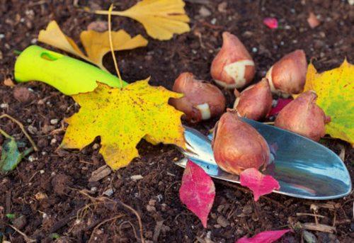 Посадка тюльпанов осенью – способы иинструкции
