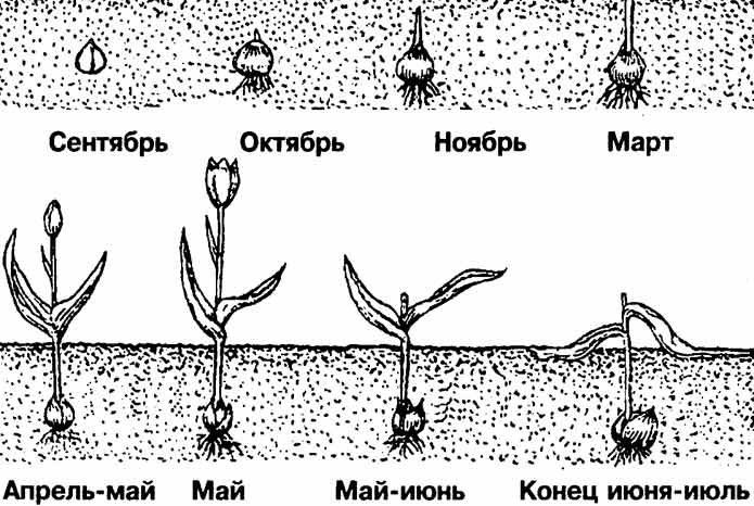 Схема роста и развития луковицы тюльпана