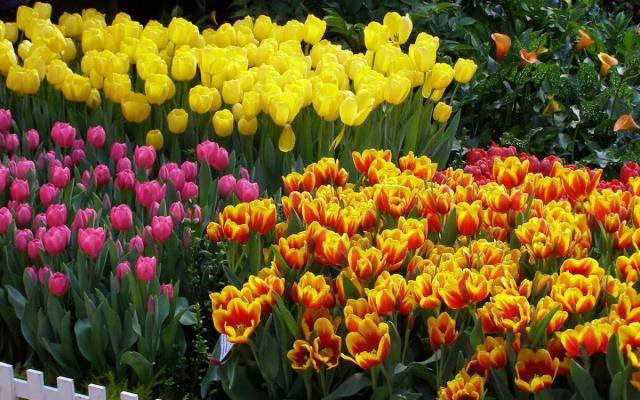 Тюльпаны разных видов и сортов