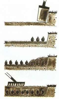 Как посадить тюльпаны в открытый грунт — схема