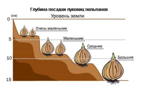 Схема Глубина посадки луковиц тюльпана