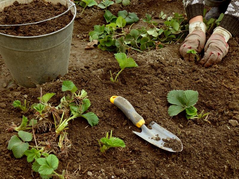 Как правильно посадить клубнику осенью на грядках?
