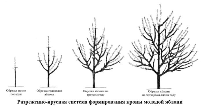Разреженно-ярусная система формирования кроны яблони
