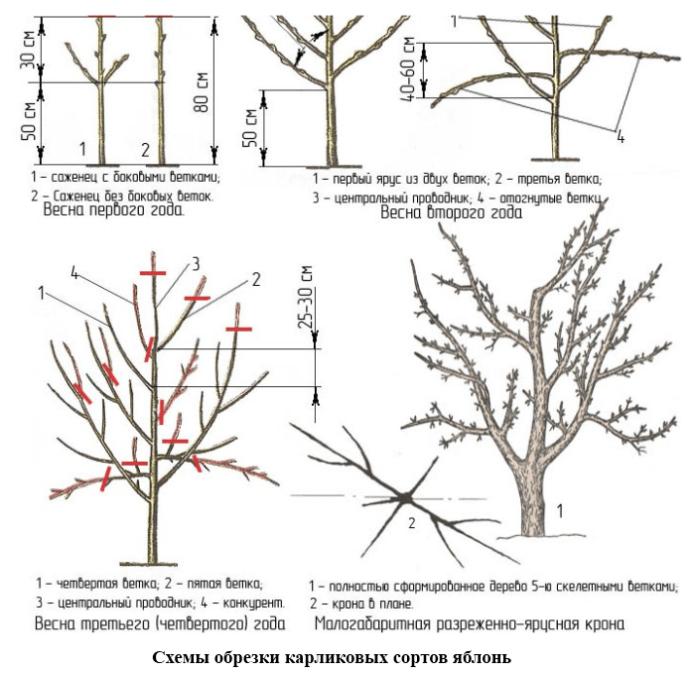 Способы обрезки карликовых яблонь схема