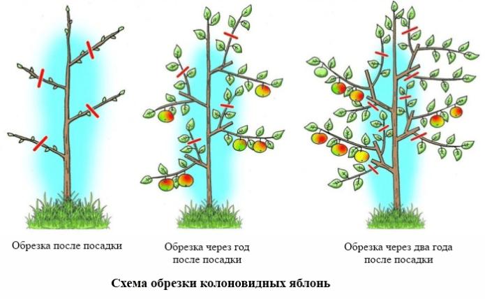 Схема обрезки колоновидных яблонь