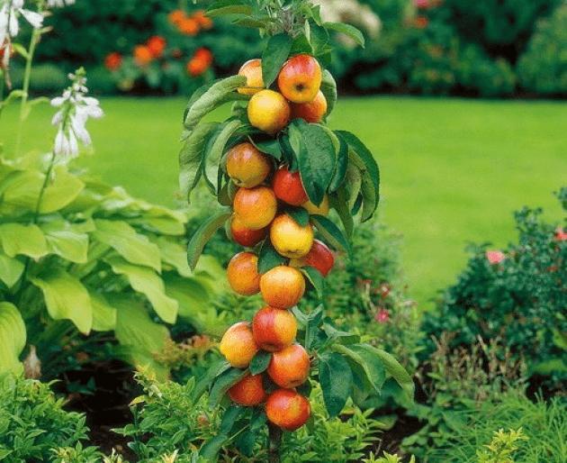Яблоки на колоновидной яблоне
