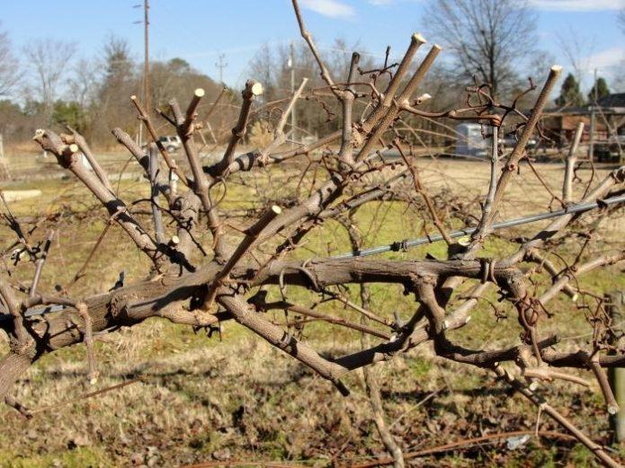 Обрезанный виноград