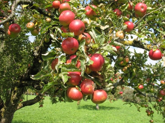 Яблоня сорта Жигулёвское
