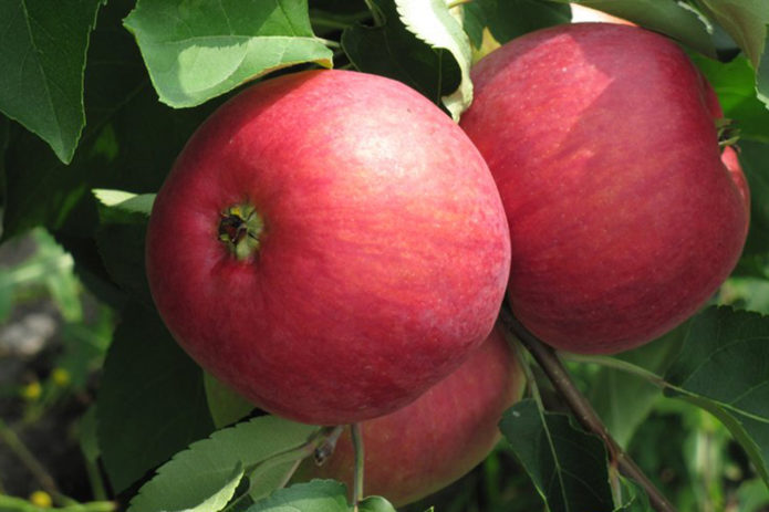 Яблоки сорта Жигулёвское