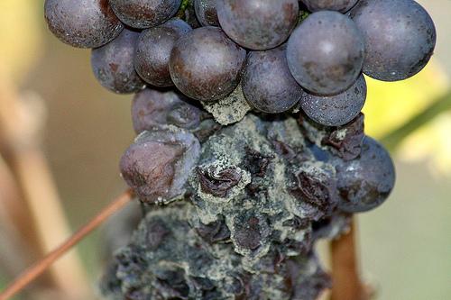 Виноград, поражённый серой гнилью
