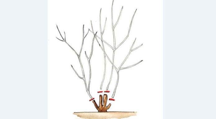 Рисунок омолаживающей обрезки растения