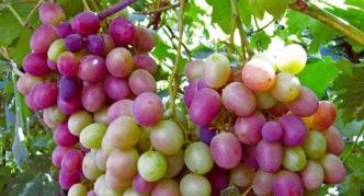 Виноград сорта Карамол