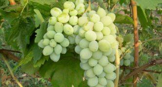 Виноград сорта Ляна