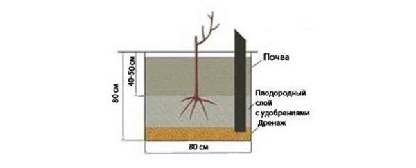 Рисунок посадки винограда