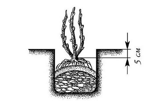 Рисунок посадки калины